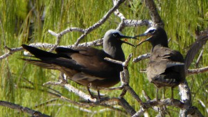 White-Capped Noodies